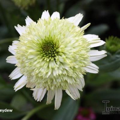 Echinacea 'Honeydew' -