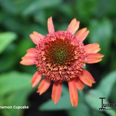 Echinacea purpurea 'Cinnamon Cupcake' -