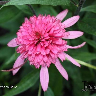 Echinacea purpurea 'Southern Belle' -