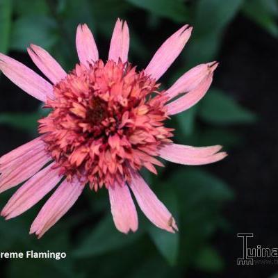 Echinacea 'SUPREME Flamingo' -