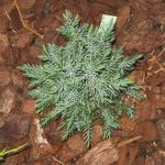 Juniperus chinensis 'Stricta' - Chinese jeneverbes - Juniperus chinensis 'Stricta'