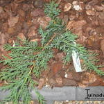 Juniperus sabina 'Rockery Gem' - Juniperus sabina 'Rockery Gem' - Sabijnse jeneverbes, Zevenboom