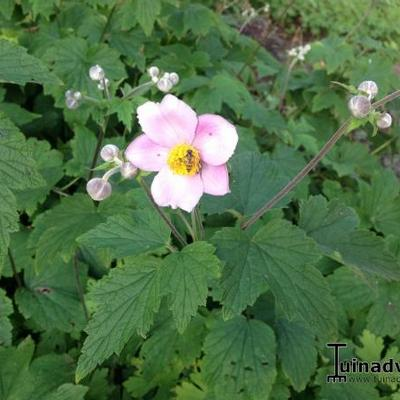 Anemone hup. 'September Charm' - Herfstanemoon of Japanse anemoon