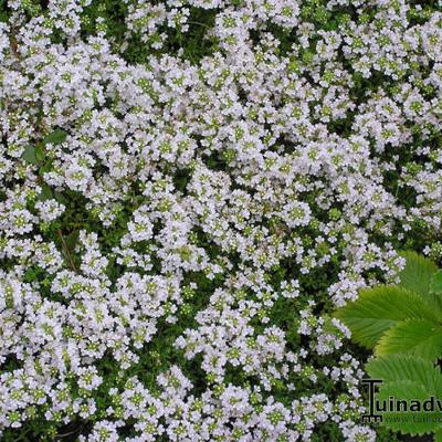 Thymus praecox 'Vey' -