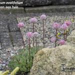 Eriogonum ovalifolium - Eriogonum ovalifolium - Boekweitkussen
