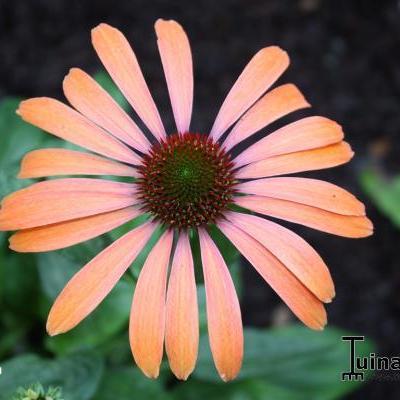 Echinacea purpurea 'Julia' -