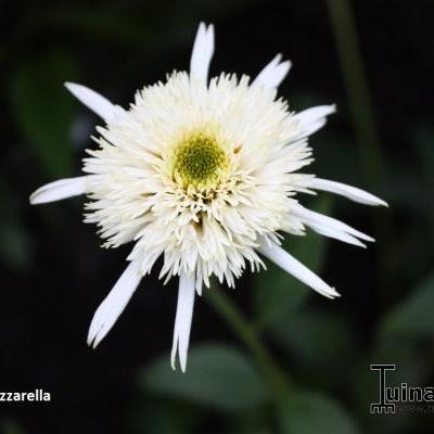 Echinacea purpurea 'Mozzarella' -