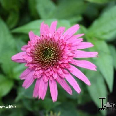 Echinacea purpurea 'SECRET Affair' -