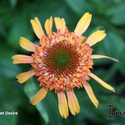 Echinacea purpurea 'SECRET Desire' -
