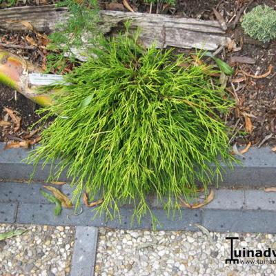Chamaecyparis pisifera 'Filifera Aurea' -