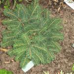 Servische spar - Picea omorika 'Karel'