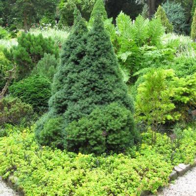 Witte spar - Picea glauca 'Sanders Blue'