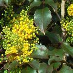 Mahonia aquifolium 'Apollo'  - Mahonia - Mahonia aquifolium 'Apollo'