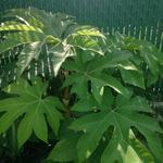 Tetrapanax papyrifer 'Rex' - Tetrapanax papyrifer 'Rex' - rijstpapierplant / rijstpapierboom