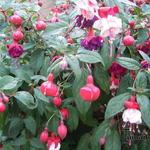 Fuchsia - Fuchsia - Bellenplant