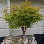 Acer palmatum 'Sangokaku' - Japanse esdoorn 'Sangokaku'