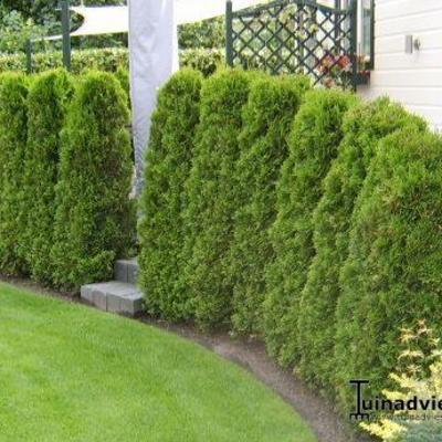 Westerse Levensboom - Thuja occidentalis 'Brabant'