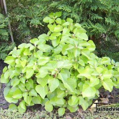 Hedera hibernica 'Arbori Compact' - Ierse klimop, Dwergklimop - Hedera hibernica 'Arbori Compact'
