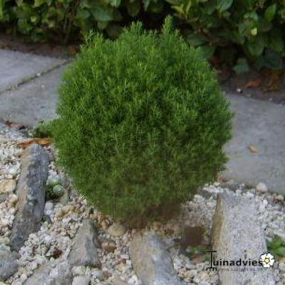 Thuja occidentalis 'Teddy' - Westers levensboom