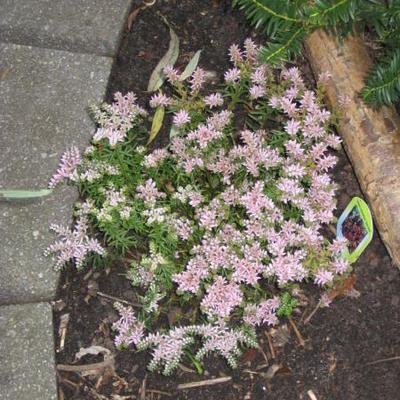 Sedum pulchellum 'Sea Star' -