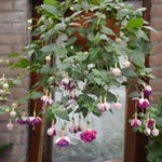 Fuchsia 'Brookwood Joy'  - Bellenplant
