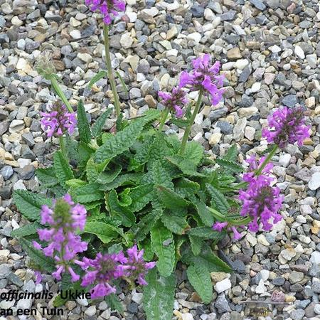 Stachys officinalis 'Ukkie'