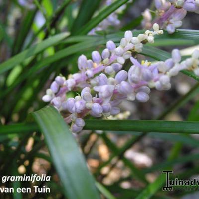 Liriope graminifolia -