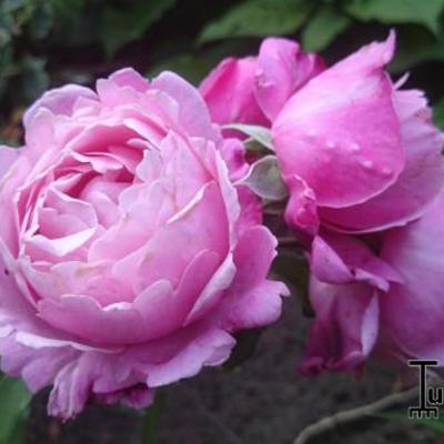 Rosa 'Soeur Emmanuelle' -