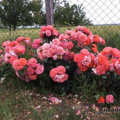 Rosa 'Gebrüder Grimm' -