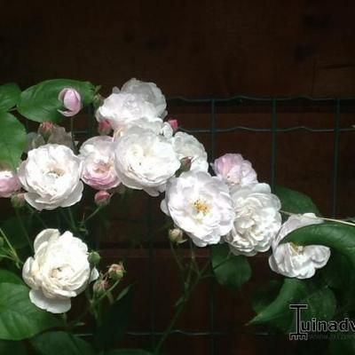 Rosa 'Blush Noisette' -