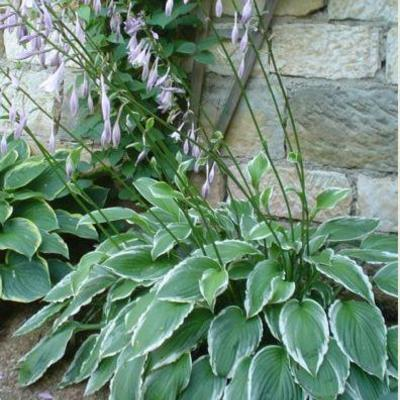 Hosta fortunei 'North Hills' -