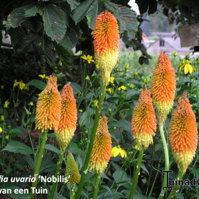 Kniphofia uvaria 'Nobilis' -