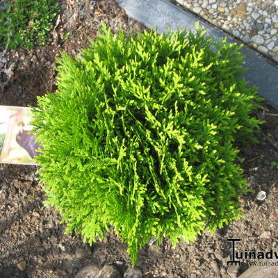 Thuja occidentalis 'Danica' - Levensboom