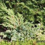 Juniperus chinensis 'Blue Alps' - Chinese jeneverbes