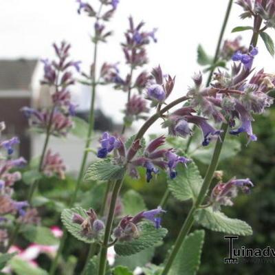 Nepeta grandiflora -