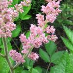 Astilbe chinensis 'Vision in Pink'  - Pluimspirea