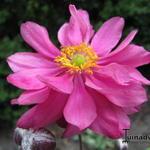 Anemone hupehensis 'PRETTY LADY Julia' - Herfstanemoon - Anemone hupehensis 'PRETTY LADY Julia'