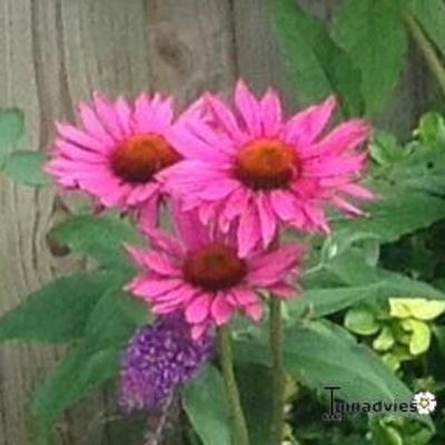 Echinacea purpurea 'Rubinglow' -