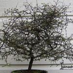 Corokia cotoneaster - Corokia cotoneaster - Zigzagstruik