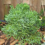 Cryptomeria japonica 'Little Diamond' - Japanse ceder