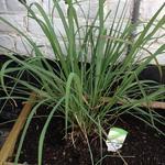 Cymbopogon citratus - Citroengras, Citronella - Cymbopogon citratus