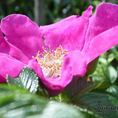 Rosa rugosa 'Rubra' -