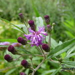 Vernonia crinita 'JS Betty Blindeman' - Vernonia