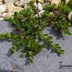 Salix serpyllifolia - Salix serpyllifolia - Tijmbladwilg