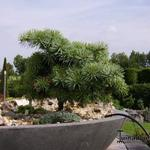 Abies concolor 'Piggelmee' - Colorado den