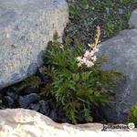Astilbe glaberrima var. saxatilis - Astilbe glaberrima var. saxatilis - Rotsspirea