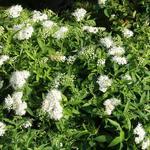 Spiraea japonica 'Albiflora' - Spierstruik, spirea - Spiraea japonica 'Albiflora'