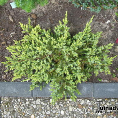 Juniperus squamata 'Dream Joy' - Jeneverbes