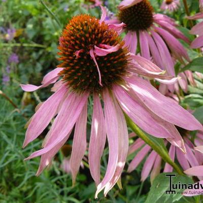 Echinacea purpurea 'Double Decker' -