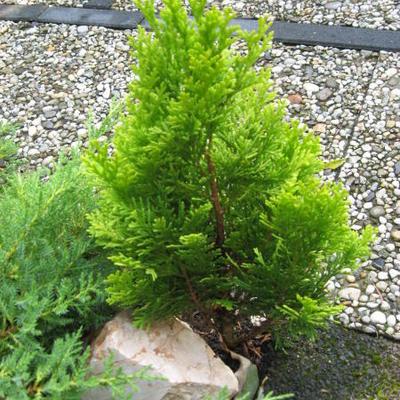 Chamaecyparis lawsoniana 'Minima Aurea' -